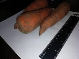 Ik zal wortelen in de groothandel in Kazachstan verkopen