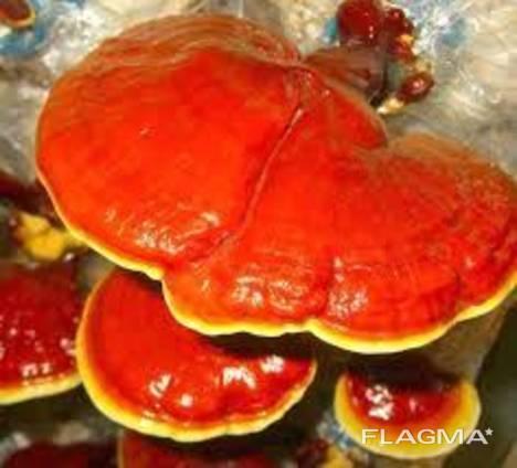 Reishi-paddenstoel, Lingzhi, Ganoderma lucidum